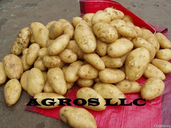 Картофель из Египта