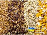Feed Barley Ячмень Фуражный - фото 1