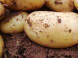 Картофель - photo 1