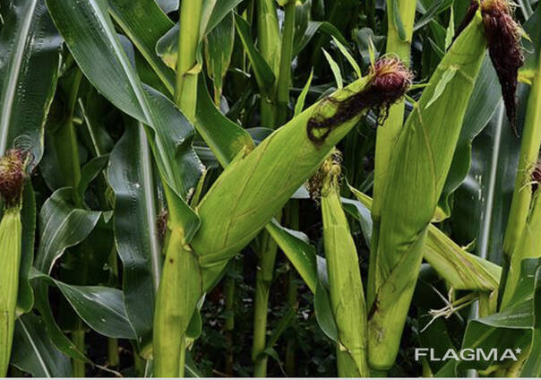 Кукуруза Биогумус