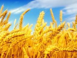 Пшеница, кукуруза, FOВ Одесса.