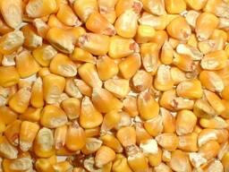 Пшеница, ячмень, кукуруза - фото 5