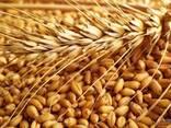 Пшеница, ячмень, кукуруза - photo 6