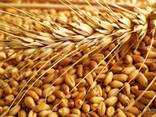 Пшеница, ячмень, кукуруза - фото 6