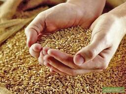Selling Wheat, Barleyبيع القمح والشعير والذرة للتصدير - photo 2
