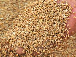 Selling Wheat, Barleyبيع القمح والشعير والذرة للتصدير - photo 3