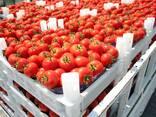 Tomato - photo 1
