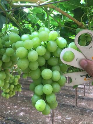 Виноград, без косточки