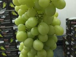Виноград египетский