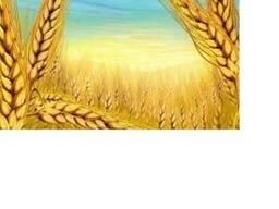 Wheat, пшеница 3-4 класса, зерновые культуры